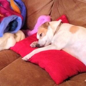 Tired Daisy Dog