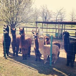 Alpaca from Sweet Clover Alpaca