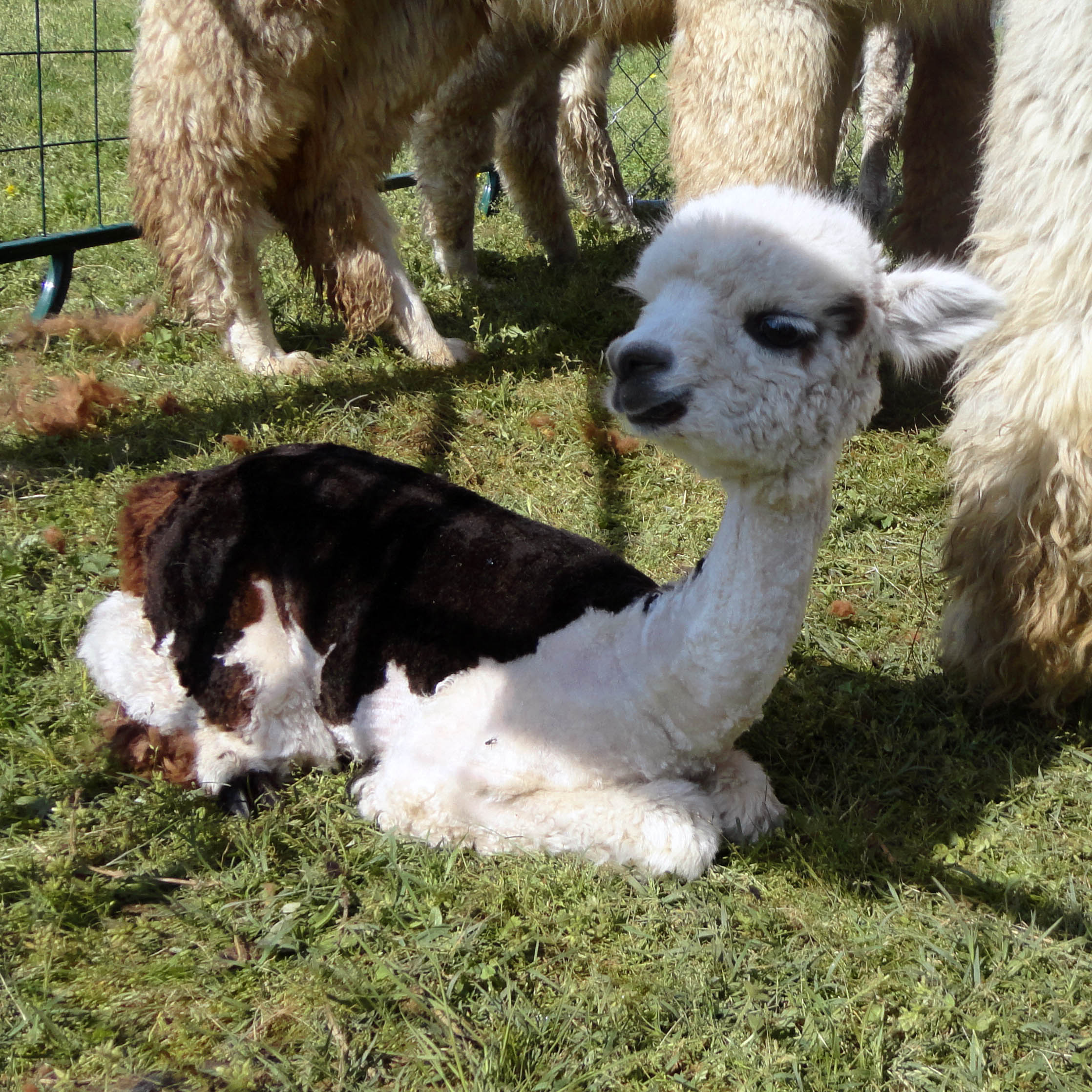 Alpaca Shearing Day at Sweet Clover Alpaca - Twisted Purl