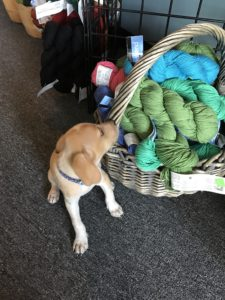 Loki The Twisted Purl's Shop Dog Checking out Yarn